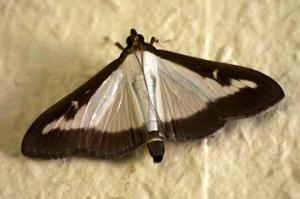 Le papillon de la Pyrale du buis